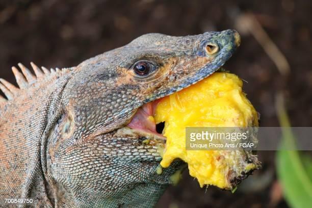 iguana eating food - iguana fotografías e imágenes de stock