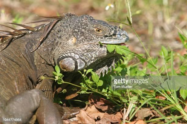 iguana eating grass, florida, usa - vista lateral stock pictures, royalty-free photos & images