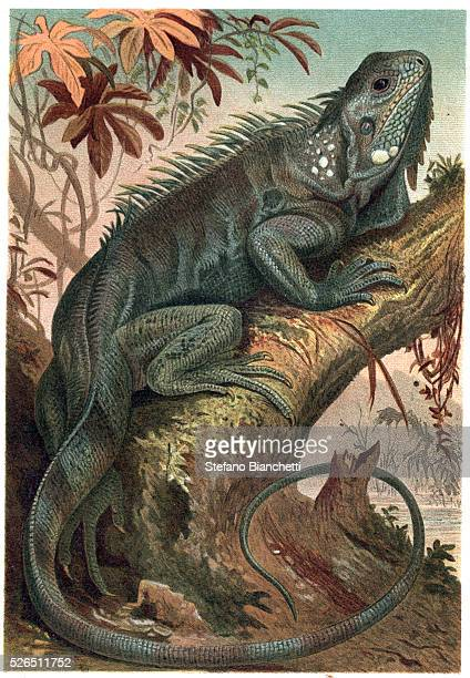 Iguana engraving from Brehm's Life of Animals by Alfred Edmund Brehm
