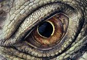 Iguana Eye Closeup
