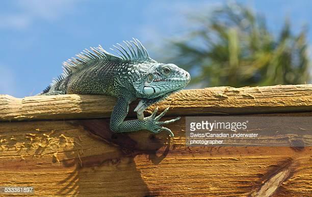 Iguana hanging out!