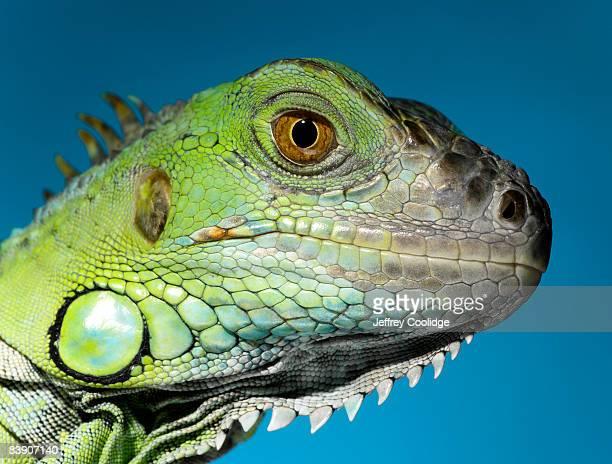 iguana head - iguana stock photos and pictures