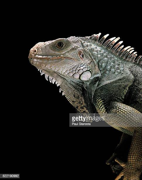 Iguana iguana (green iguana)