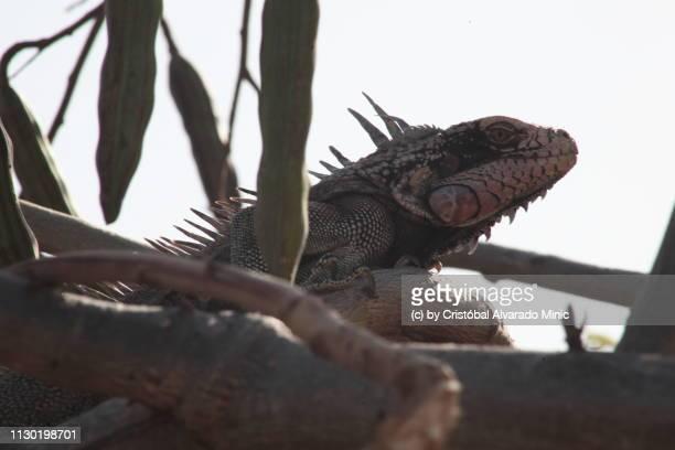 iguana in a moringa tree - moringa oleifera stock photos and pictures