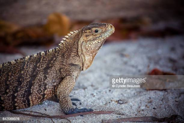 iguana in cayo macho - iguana family stock photos and pictures