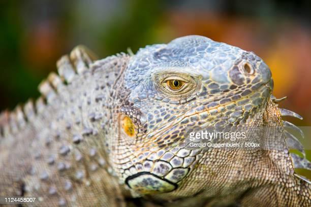 iguana in close-up - gerold guggenbuehl stock-fotos und bilder
