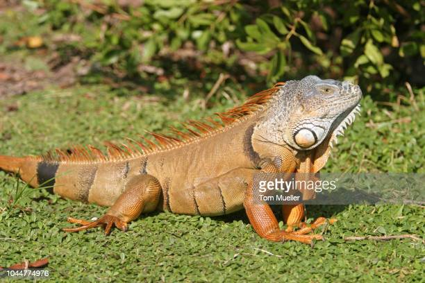 iguana in florida, usa - vista lateral stock pictures, royalty-free photos & images