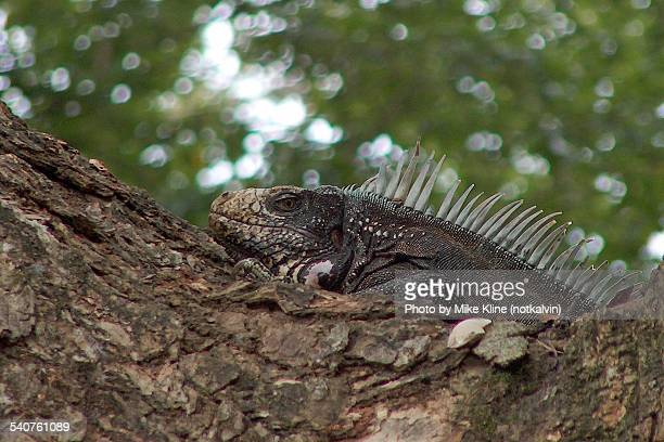 iguana in tree - land iguana stock photos and pictures