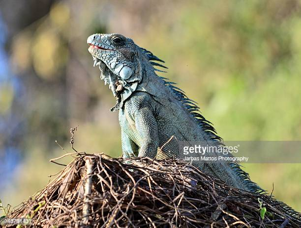 iguana lizard - cuiaba river stock pictures, royalty-free photos & images