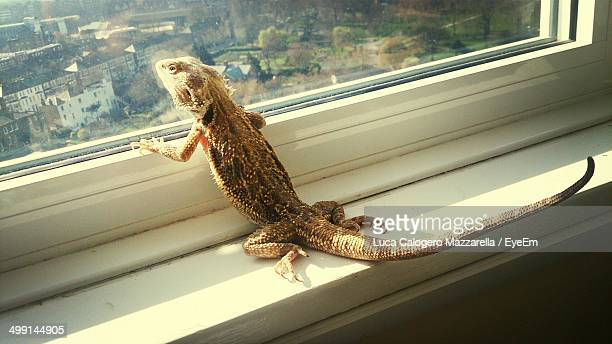 Iguana looking through window