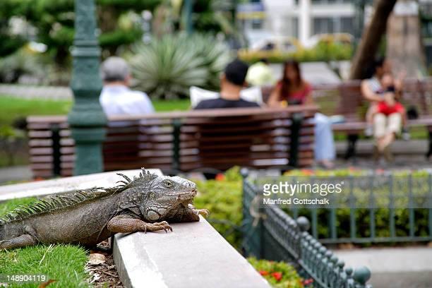 iguana lounging at parque bolivar public garden. - guayaquil fotografías e imágenes de stock