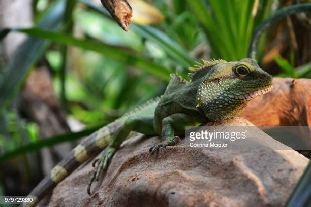iguana lying down on stone - iguana family stock photos and pictures