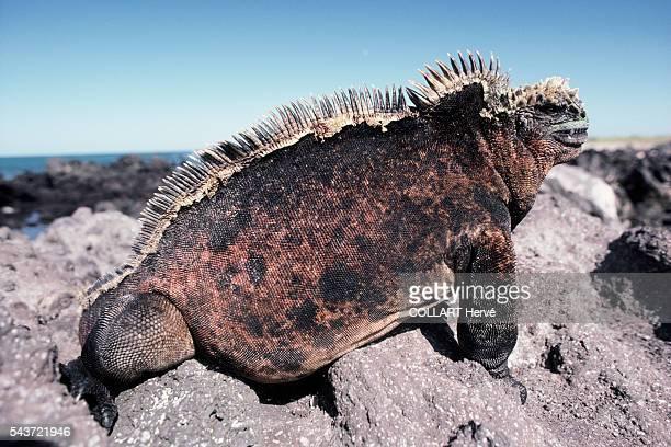 Iguana on the Galapagos Islands