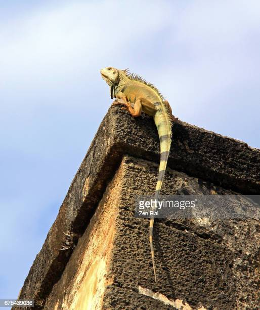 iguana on top of fort san cristobal (castillo san cristobal) wall - old san juan, puerto rico - old san juan wall stock photos and pictures