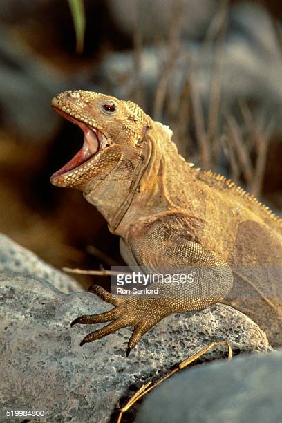 iguana perching on rock - land iguana stock photos and pictures