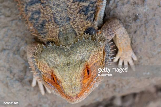 iguana - land iguana stock photos and pictures