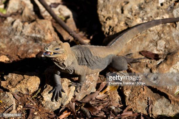 iguana - squamata stock photos and pictures