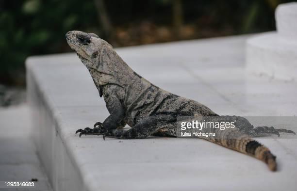 iguana under mexican sun