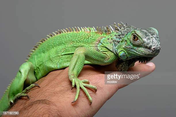 iguana - iguana foto e immagini stock