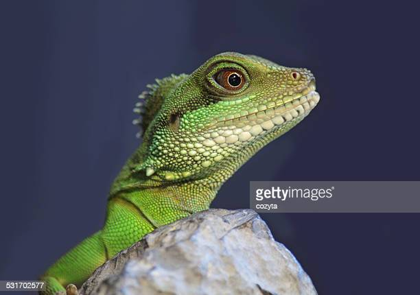 iguana - reptile stock pictures, royalty-free photos & images