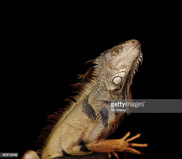 iguana - イグアナ ストックフォトと画像