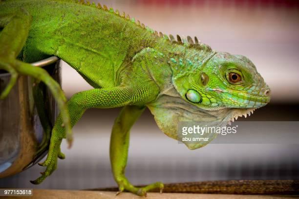 iguana - green iguana ストックフォトと画像