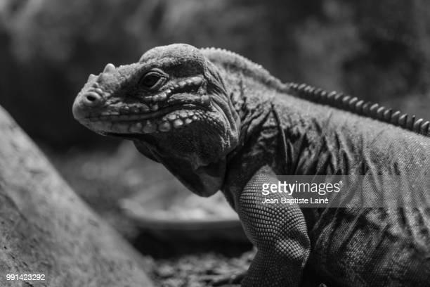 iguana - animal extinto fotografías e imágenes de stock