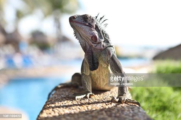 iguana posing on a wall - iguana fotografías e imágenes de stock