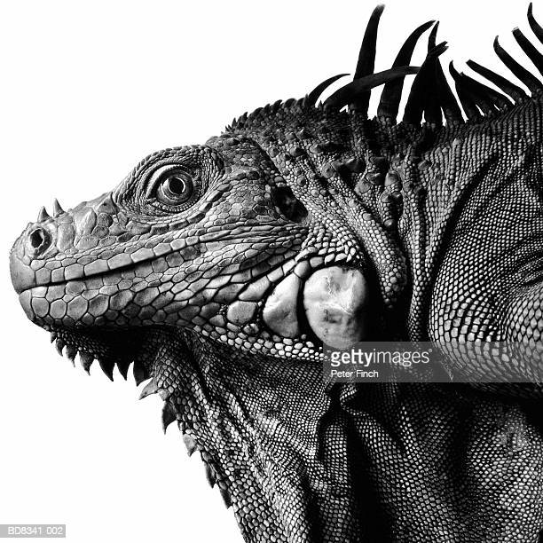 iguana (iguana iguana), profile (b&w) - イグアナ ストックフォトと画像