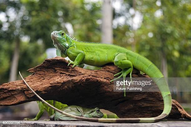 Iguana seen on December 18 2016 in Pekanbaru Indonesia Jefta Images / Barcroft Images LondonT44 207 033 1031 Ehello@barcroftmediacom New YorkT1 212...