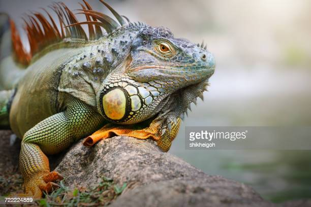 iguana sitting on a rock, indonesia - iguana - fotografias e filmes do acervo