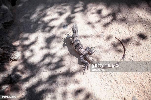 Iguana walking around