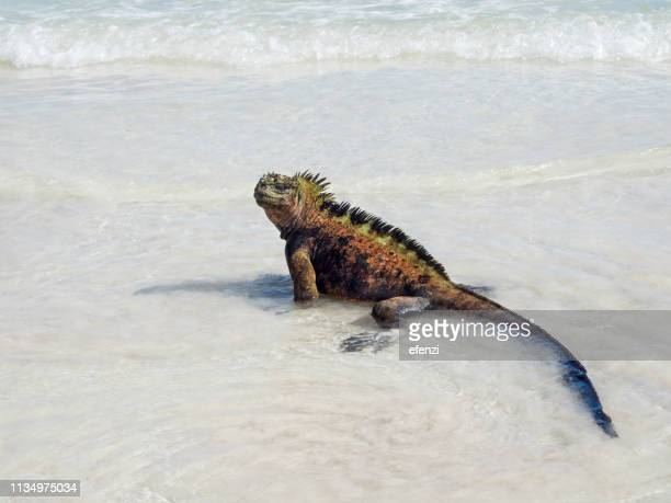 iguana walking on tortuga bay beach - santa cruz island galapagos islands stock pictures, royalty-free photos & images