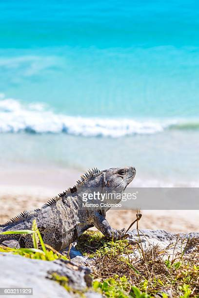 iguana with sea in the background, tulum, mexico - land iguana imagens e fotografias de stock