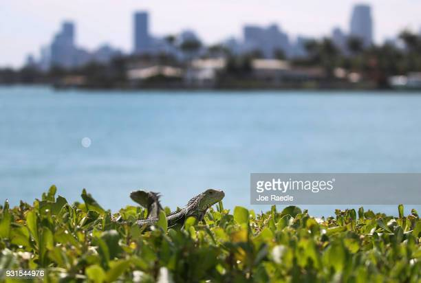 Iguanas are seen as the Florida Fish and Wildlife Conservation Commission continues its efforts to try and control the invasive species on March 13...