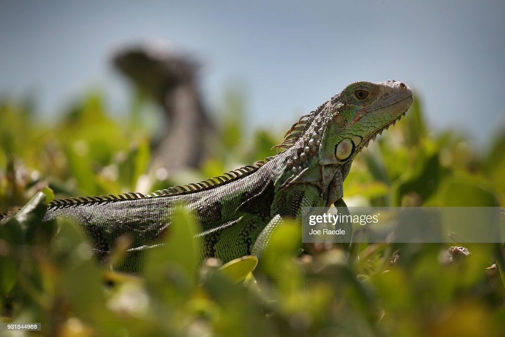 Iguanas are seen as the Florida Fish and Wildlife Conservation Commission continues its efforts to try and control the invasive species on March 13, 2018 in Miami, Florida. The commission has teams of people that are trying to eliminate the reptiles by killing them, which would prevent them from eating native plants and wildlife as well as disturbing the natural Florida habitat that they are living in.