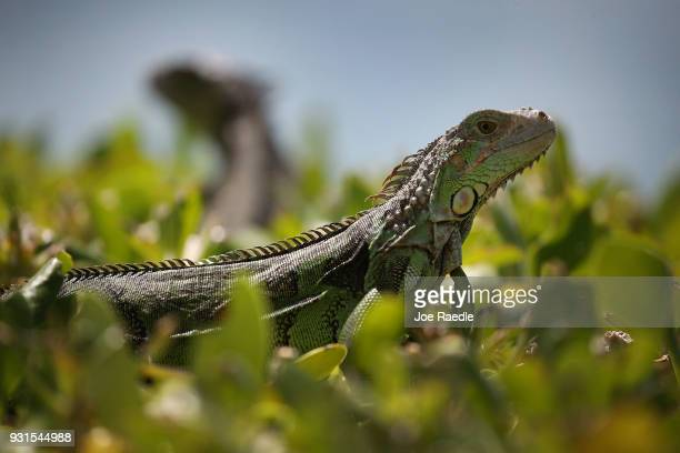 Iguanas are seen as the Florida Fish and Wildlife Conservation Commission continues its efforts to try and control the invasive species on March 13,...