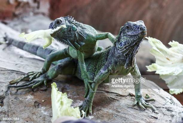 Iguanas are seen as they eat lettuce at Ankara Metropolitan Municipality Kecioren Pet Park which was established in 1998 and citizens can enter free...