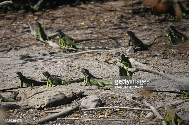 Iguanas are seen at the ecological park in Cinquera El Salvador on January 8 2020 The forest of Cinquera which was theatre of war of El Salvador's...