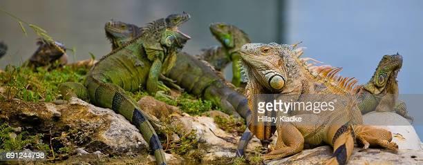 iguanas in miami - iguana stock photos and pictures