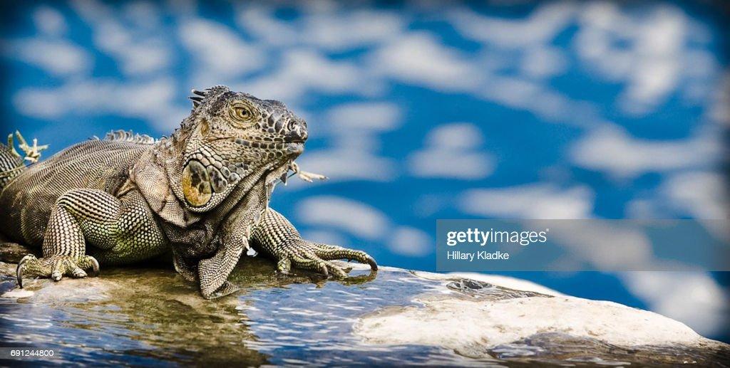 Iguanas in Miami : Stock Photo
