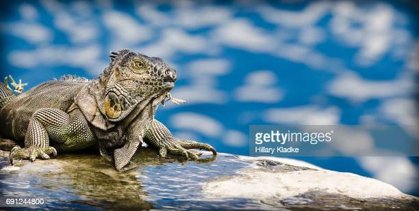 iguanas in miami - land iguana stock photos and pictures