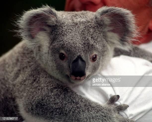 """Ihren ersten Geburtstag feiert das vor Jahresfrist geborene Koala-Mädchen """"Kangu-Landai"""" am 19.6.1996 im Duisburger Zoo. Wenn es nach dem..."""