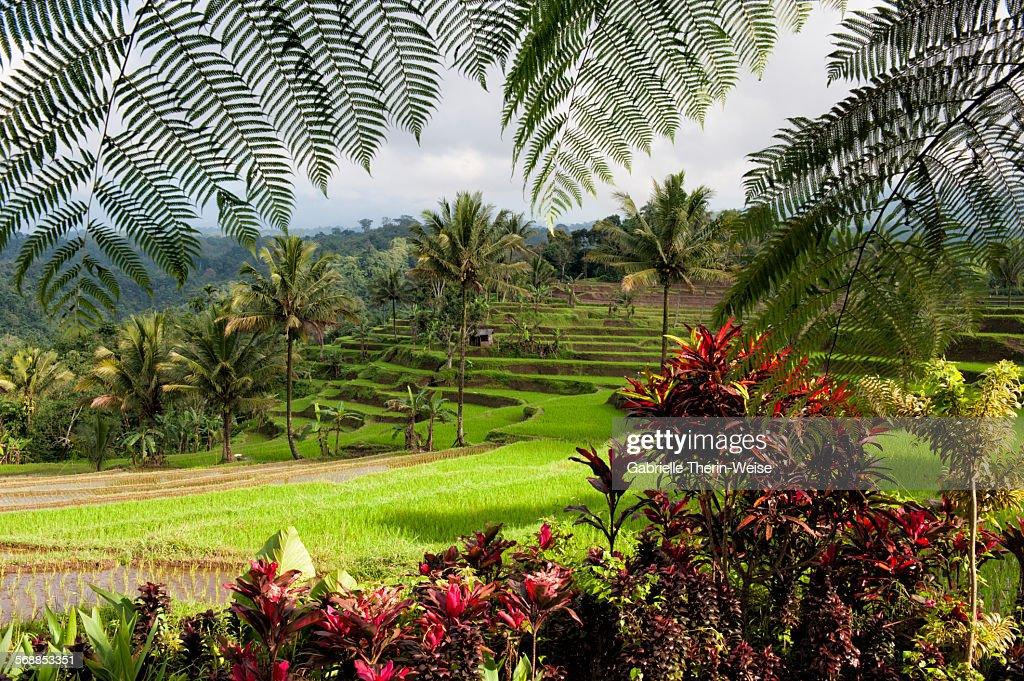 Ijen rice terraces : Stock Photo