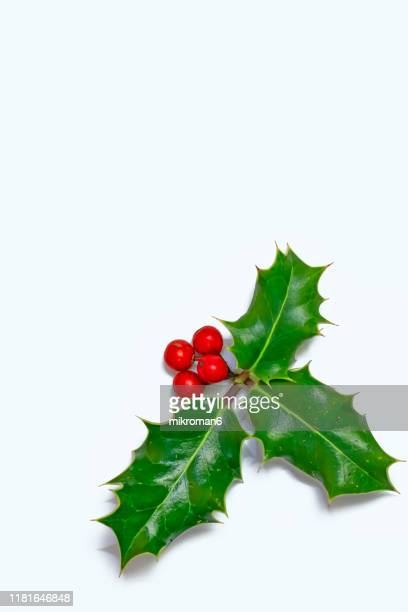 ilex, or holly evergreen shrubs - holly stock pictures, royalty-free photos & images