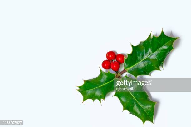 ilex, or holly evergreen shrubs - leaf stock pictures, royalty-free photos & images