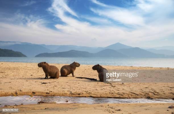 A group of capybaras, Hydrochoerus hydrochaeris, rest on the beach at sunrise.