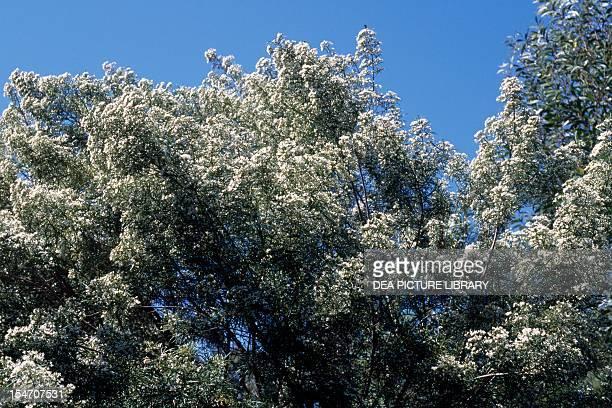 Illawarra Zieria , Rutaceae.