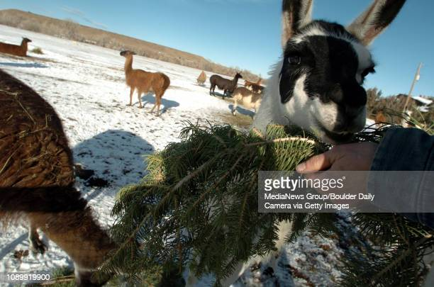 Illette Vasquez feeds some llamas left over Christmas Trees from local tree farms at Bobra Goldsmith ranch in Boulder December 24, 2004.