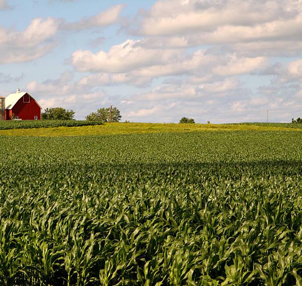 Illinois Corn Field Wall Art